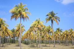 Cocoteros (Kookospalmujen) Kuvituskuvat