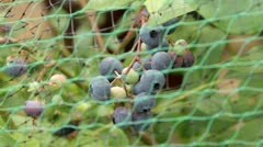 blueberries protected by netting - stock footage