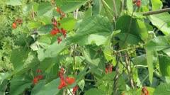 Tilt clip of runner bean plants in flower Stock Footage