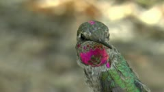 Anna's Hummingbird Beauty Stock Footage
