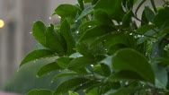Rain on shrub Stock Footage