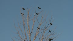 crows on bare branches - stock footage