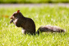 Cute squirrel feeding in the grass - stock photo