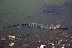 Half Submerged Small Alligator in the Everglades - stock photo