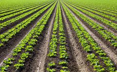 Stock Photo of Rows of Lettuce