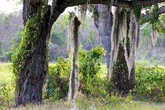 Trees with Hanging Moss in the Everglades Stock Photos