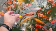 Hand feeding large goldfish Stock Footage