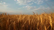 Wheat field 4 Stock Footage