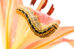caterpillar crawling on flower - stock photo