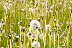 meadow full of wild fluffy dandelions - stock photo