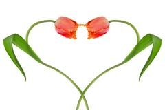 heart from two tulips - stock photo