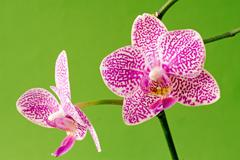 Violet orchid on green background Stock Photos