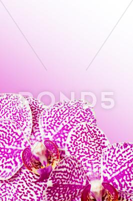 Stock photo of violet orchid