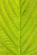 texture of green detailed leaf - stock photo