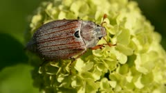 Chafer beetle on viburnum blossom Stock Footage