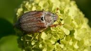 Chafer beetle on viburnum blossom Stock Footage