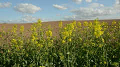 Spring rapes blossoms in farm field Stock Footage