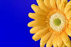 Yellow artificial flower on blue background Stock Photos