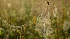Dewy spider web on autumn grass Stock Footage