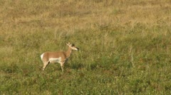 Pronged Horn Antelope Stock Footage