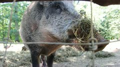 Nature and Wildlife Element - Wild Boar Stock Footage