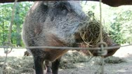 Stock Video Footage of Nature and Wildlife Element - Wild Boar