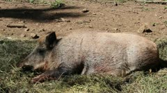 Nature and Wildlife Element - Sleeping wild boar Stock Footage