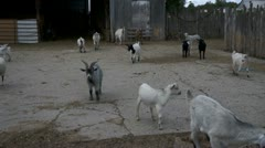Goats On A Farm Ranch Stock Footage