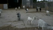 Stock Video Footage of Goats On A Farm Ranch