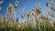Grass swaying in the wind. Stock Footage