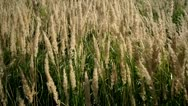 Stock Video Footage of Grass swaying in the wind.