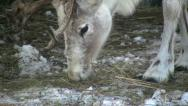 Stock Video Footage of reindeer eating hay close-up