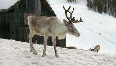 Reindeer standing near a ski slope Stock Footage