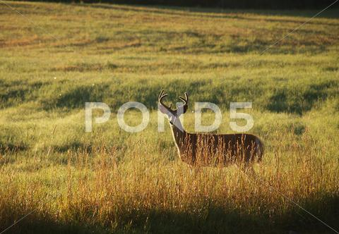 Stock photo of Deer at sunrise