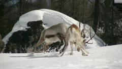 stunning reindeer fight first part - stock footage