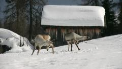 couple of raindeers scratching in a funny way - stock footage