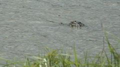 Alligator floats with buzzing dragon flies grass in foreground - stock footage