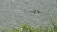 Alligator floats with buzzing dragon flies grass in foreground Stock Footage