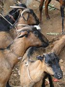 goats at the weekly market - stock photo