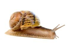 Commun european snail (helix aspersa) Stock Photos