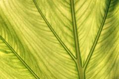caladium leaf transparency - stock photo