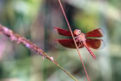 Red tropical dragonfly Stock Photos