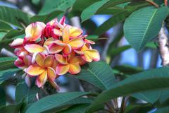 Rainbow plumeria blossom Stock Photos