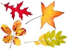 Four autumn leaves Stock Photos