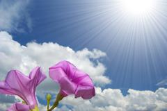 Stock Photo of morning glory flower