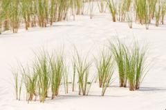 Ammophila arenaria grass on a dune Stock Photos