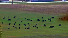 Cattle in the Valley Stock Footage