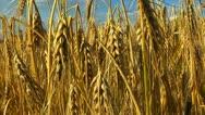 Wheat rye corn field background Stock Footage