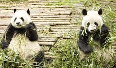 Two pandas feeding Stock Photos