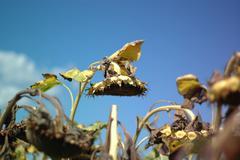 Sunflower3 - stock photo